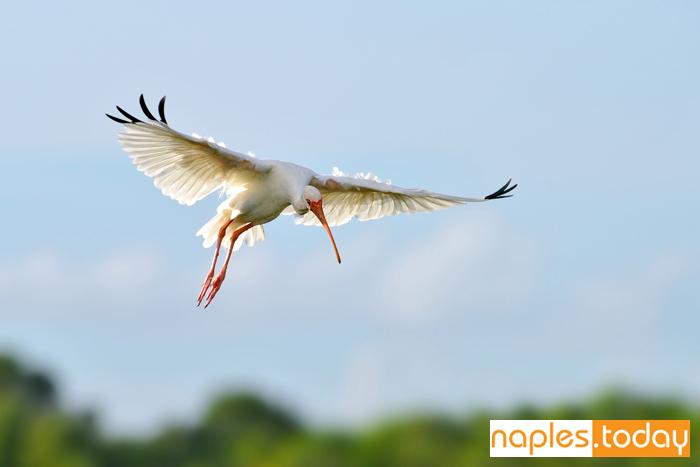 White Ibis making graceful landing Florida