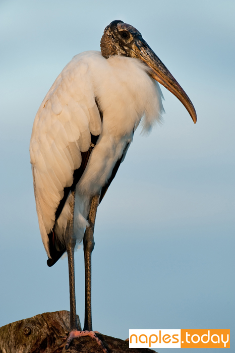 Wood Stork posing in Naples wetland