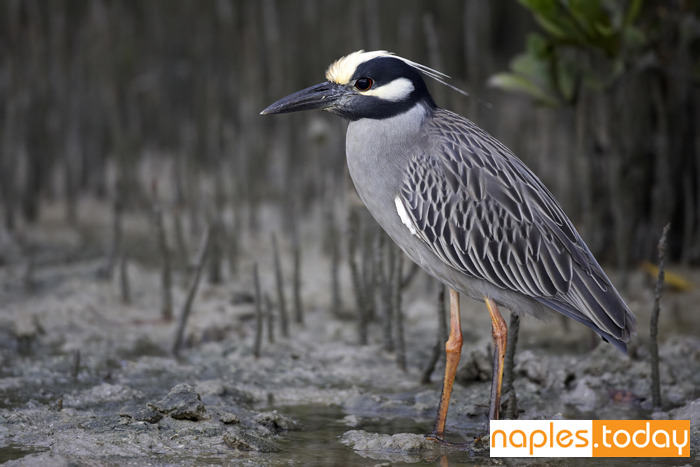 Yellow-crowned Night Heron in Naples backwaters