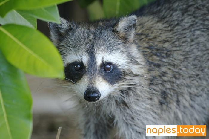 Young Raccoon hiding Naples Florida
