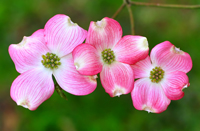 A close-up view of dogwood flowers