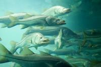 A school of Snook in Florida