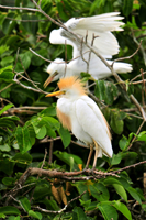 Adult and young cattle egret in Florida