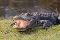 Aggressive alligator in Florida Everglades