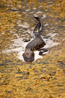 Alligator crawling in Everglades swamp
