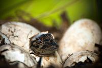 Alligator hatching in Florida Everglades
