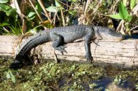 Alligator sun bathing in the Everglades