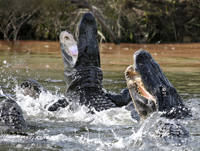 Alligators fighting over food