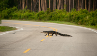 American alligator crossing road