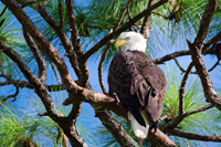 American Bald Eagle perched on tree in Naples