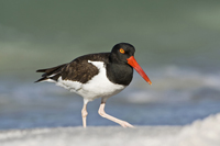 American Oystercatcher running on Naples beach