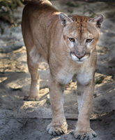 An endangered young Florida Panther