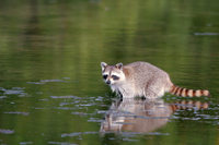 Baby Raccoon wades in swamp