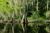 Bald Cypress Trees reflecting in the water