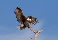 Bald Eagle landing on Naples tree