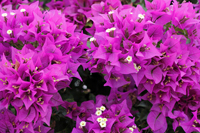 Beautiful bright fuchsia bougainvillea