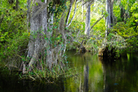 Beautiful cypress trees in the Everglades