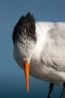 Beautiful Royal Tern in Naples Florida