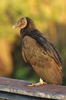 Black Vulture in the Everglades National Park
