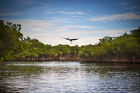 Blue Heron taking flight in Everglades