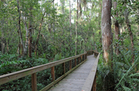 Boardwalk through a Cypress swamp