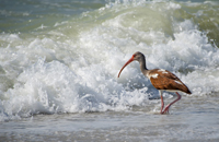 Brown Ibis facing a big wave