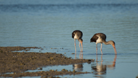 Brown Ibises searching for food