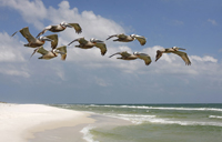Brown pelicans flying over Naples beach