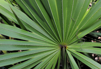 Cabbage Palm close-up in Naples