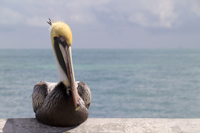 Close-up of a Brown Pelican on the Naples pier