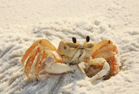 Close-up of a Ghost Crab on Naples beach