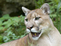 Close-up of beautiful Florida Panther
