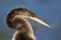 Closeup of American Anhinga