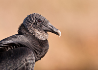 Closeup of an American Black Vulture