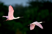 Colorful Roseate Spoonbills in flight