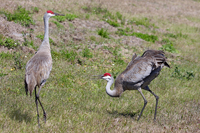 Courtship dance of two Sandhill Cranes