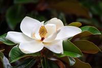 Creamy white southern magnolia