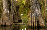 Cypress forest scenery with Ibis