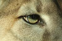 Extreme close-up of Florida Panther
