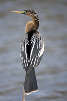 Female Anhinga perched on a branch in Naples