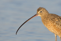 Female Long-billed Curlew in Florida