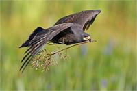 Female Snail Kite with nesting material