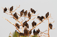 Flock of Black Vultures in the Florida Everglades