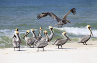 Flock of Brown Pelicans on a white sand