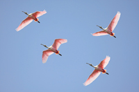 Flock of flying Roseate Spoonbills