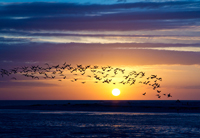 Flock of terns frame the Naples sunset
