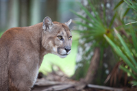 Florida Panther focuses on danger