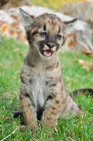 Florida Panther kitten posing