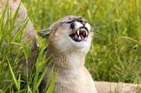 Florida panther snarling in the Everglades National Park