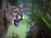 Florida panther snarls in displeasure
